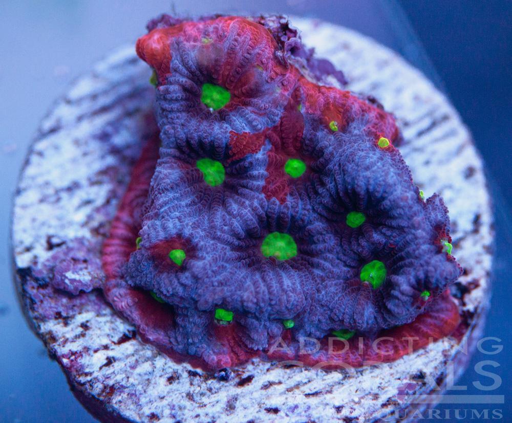 Tricolor war coral
